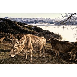 Cows over the sea of fog